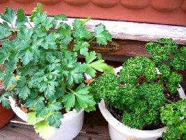プランターでのパセリの栽培、育て方