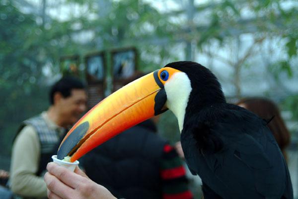 神戸花鳥園オニオオハシDSCF0265
