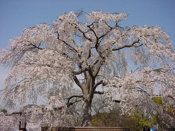 dsc00097春円山公園枝垂桜