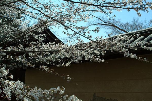 reihoukann-kabe-sakura.jpg