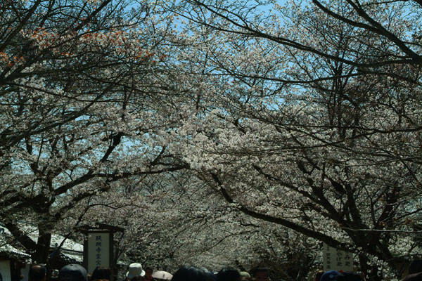 reihoukann-sakura-tonnneru.jpg