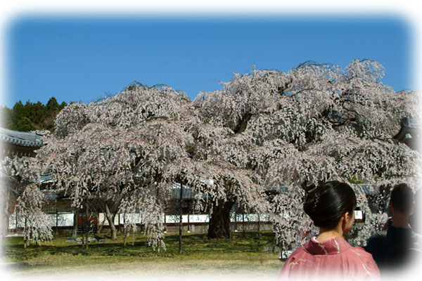 reihoukann-sakura.jpg