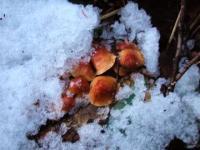 雪の下のナメコ