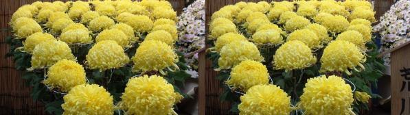 湯島天満宮菊の花?(平行法)