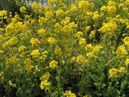3421菜の花