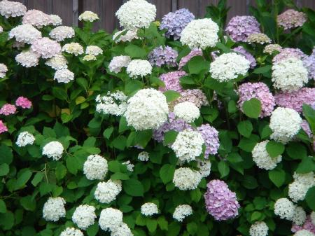 0023紫陽花