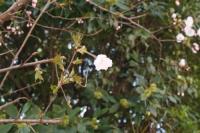 近所の桜0330-#9312;