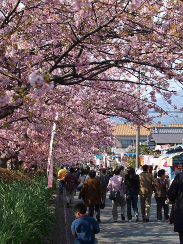 河津桜と出店