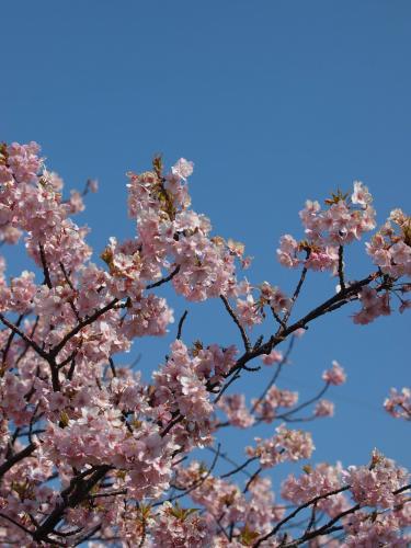 青空に河津桜