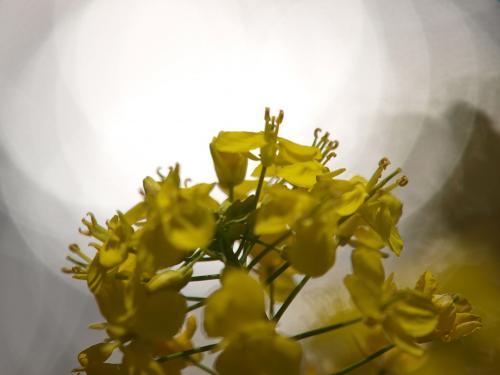 水面のぼけと菜の花