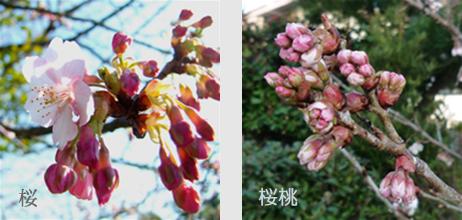 sakura3_20090304000629.jpg