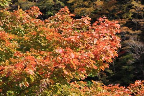 玄倉林道の紅葉