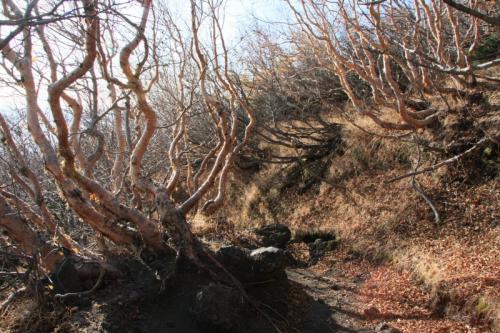 ダケカンバの樹林帯