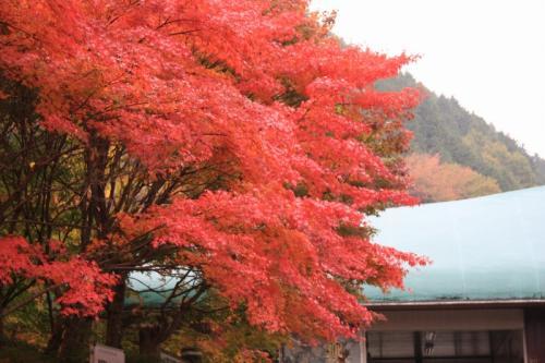 西丹沢教室前の紅葉