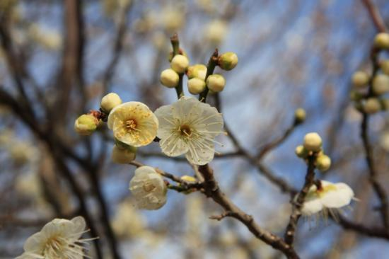 一重緑萼(青白色/一重咲き)