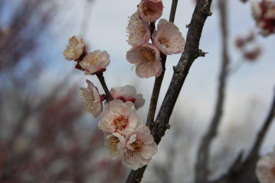 八重旭(薄紅色/八重咲き)