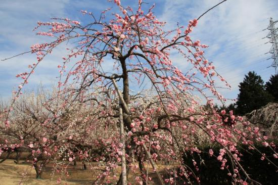 藤牡丹枝垂(淡紅色/八重咲き)