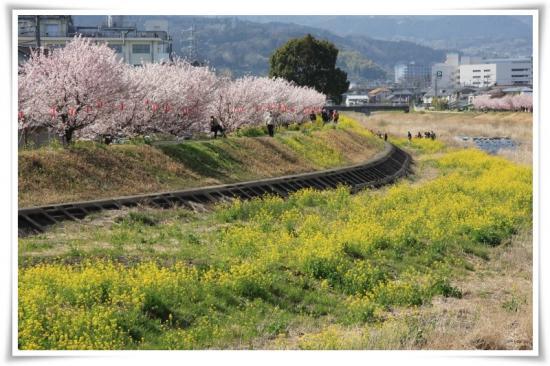 菜の花と春めき桜