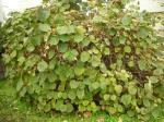 キウイの木