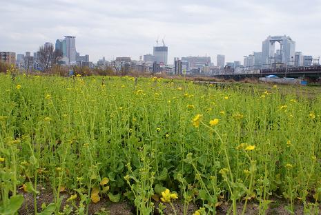 淀川の菜の花畑