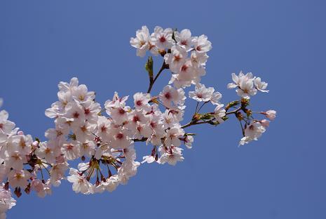 幼稚園の桜2
