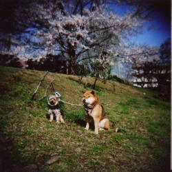 sakura200803_1