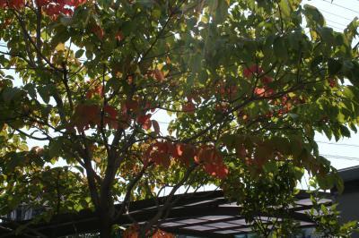 ハナミズキがほんのり紅葉