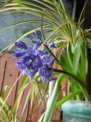 ヒアシンス開花1