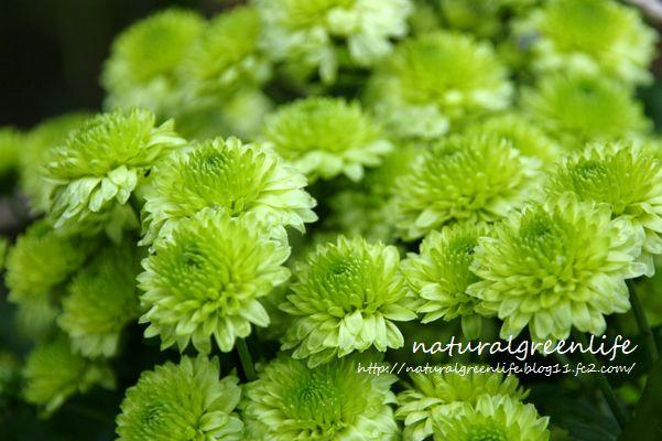 greenの菊