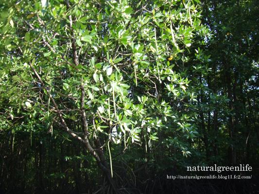 マングローブの森 体験