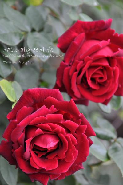 Cl.Crimson Glory