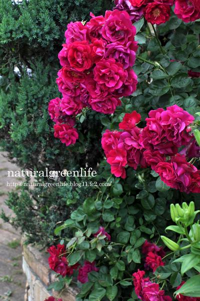 ぽるかの接木から出た薔薇