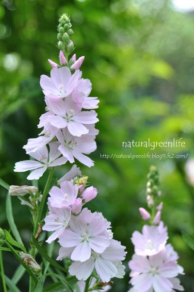 シダルセア Sidalcea malviflora.
