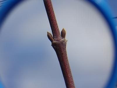 虫めがねで見た冬芽