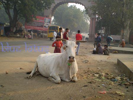 cow-brindavan.jpg
