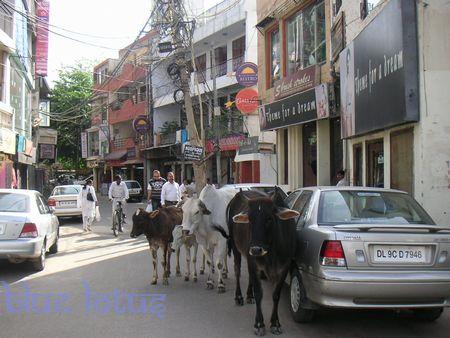 cow-hauzkhas.jpg