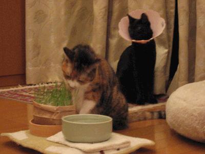ネコ草を食べるアンナ