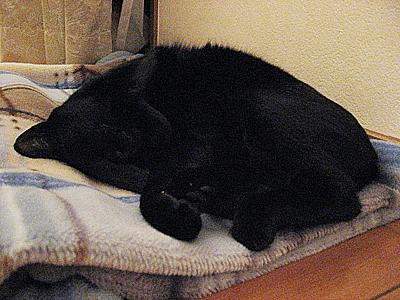 毛布の上で寝るまめたろう