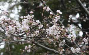 20090320桜Blog
