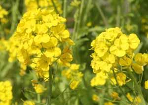 菜の花 Blog1