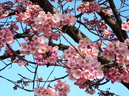 サクラの開花