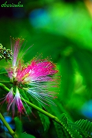 ネムノキ開花