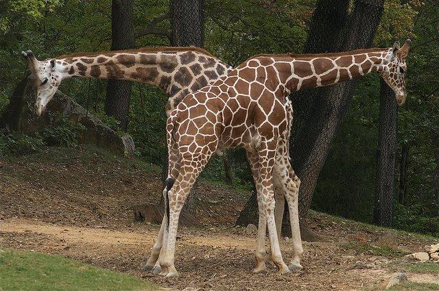 synchronicity-of-giraffes[1]