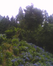 Hydrangea macrophylla3