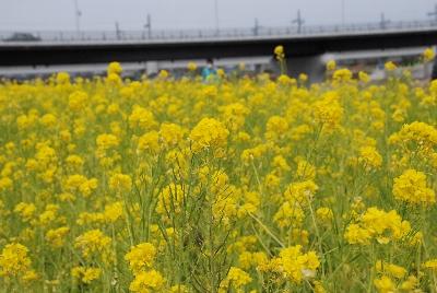 2009・03・10菜の花1