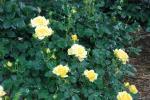 2009・05・07バラ黄色2