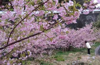 河津桜全体