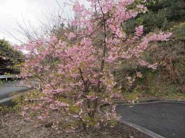四浦展望台の桜
