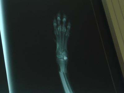 ケンの骨折写真1