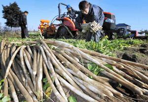 守口大根を収穫する農家の人たち